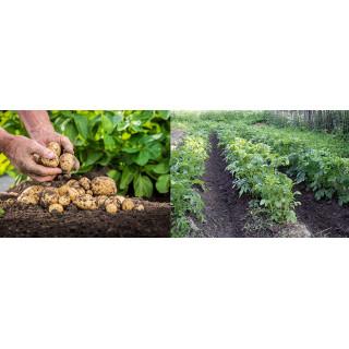 Как выбрать минеральные удобрения для картофеля