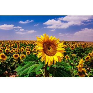 Особливості підживлення соняшника