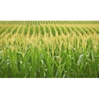 Позакореневе підживлення кукурудзи