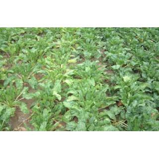 Цукровий буряк: вибір насіння, ґрунту, добрива для підживлення