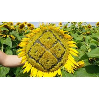 Обробіток ґрунту під посів соняшника