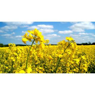 Озимый рапс: особенности выращивания и удобрения